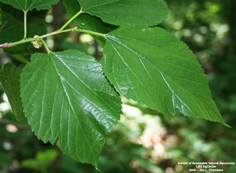 mulberry tree leaves bing images
