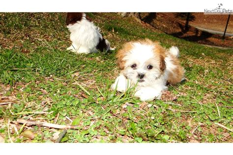 shih tzu puppies for sale in atlanta ga shih tzu puppy for sale near atlanta 51265ebe ded1