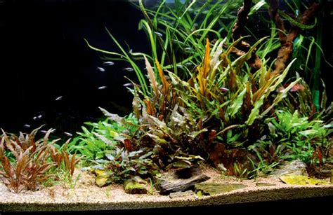 cryptocoryne aquascape cryptocoryne aquascape 28 images cryptocoryne wendtii