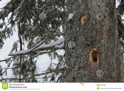 woodpecker holes in a large tree stock photo image 43525261