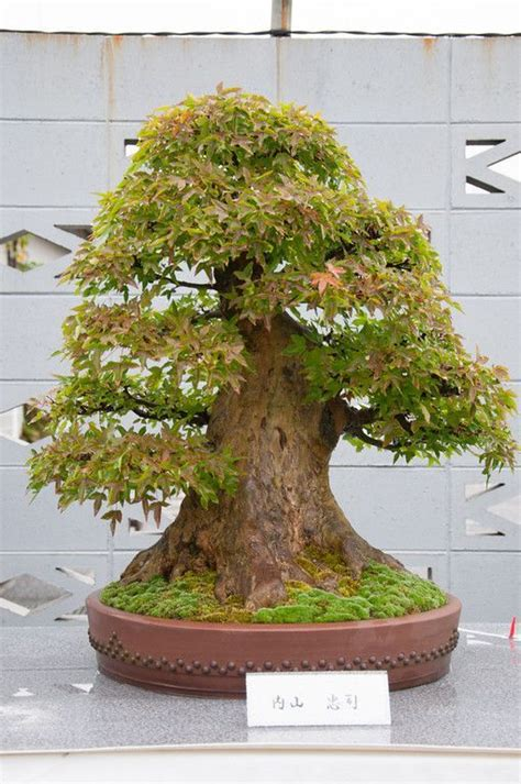libro bonsai with japanese maples 25 best ideas about maple bonsai on japanese