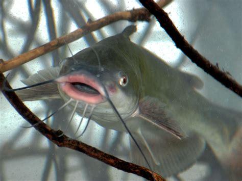 catfish trotlining and jugging tricks outdoorhub