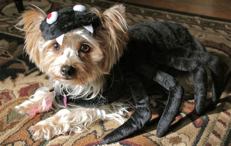 costumes  prove yorkshire terriers  win