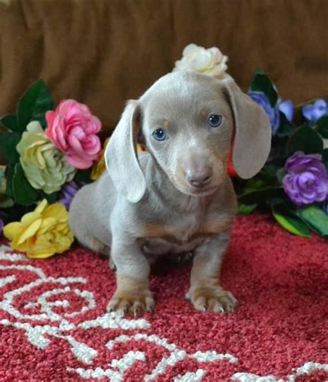 mini doxie puppies for sale beautiful and tans on