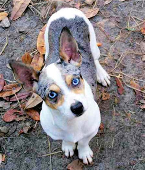 teddy roosevelt terrier puppies for sale puppies for sale rat terrier including decker rat terrier rat and teddy roosevelt
