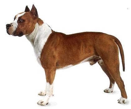 american pitbull terrier colors are pit bulls being distorted by a certain of