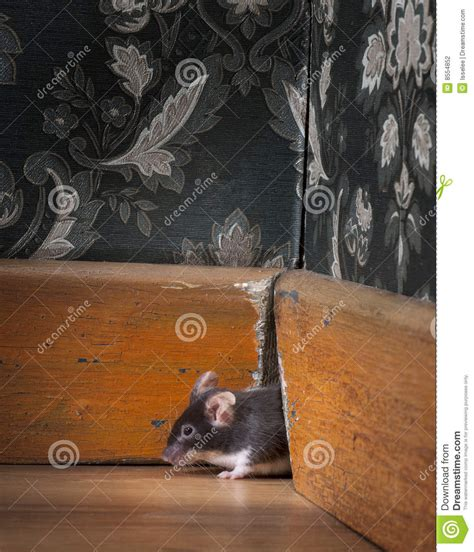 How To Get Mouse Out Of Room by Mouse Stock Photography Image 8554852