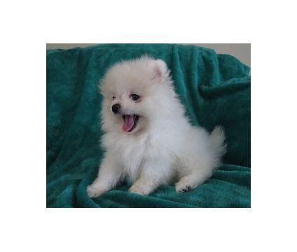 kansas city free pomeranian puppies the 25 best ideas about pomeranian puppies for sale on tiny puppies for