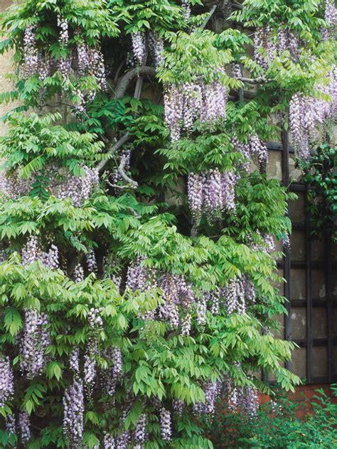growing and training wisteria hgtv