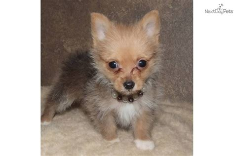 pomeranian yorkie mix price pomeranian puppy for sale near texoma 05689884 aab1