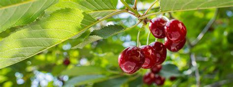 Sale Mulberry 2in1 8855 Seprem fruit tree nursery farm worker tending flood irrigation