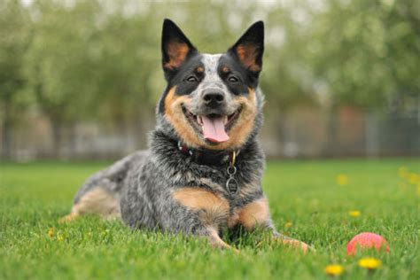 best medium sized family dogs 35 best medium sized breeds list of popular medium sized dogs for families