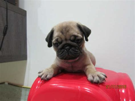 pug for sale malaysia pug puppies for sale for sale adoption from melbourne selangor ang jaya adpost
