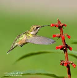 ruby throated hummingbird laura meyers photography