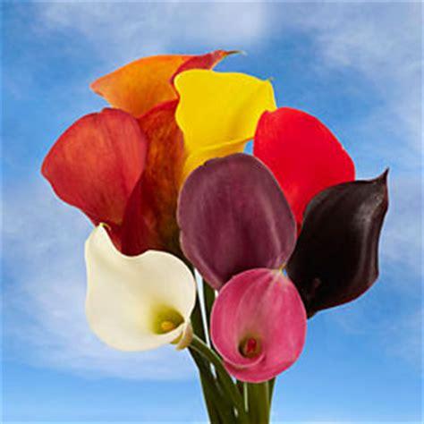 colored calla premium assorted color mini calla lilies global