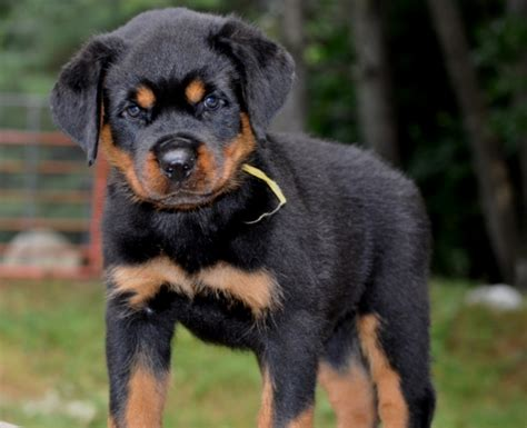 stoney creek rottweilers stoney creek rottweilers our photos