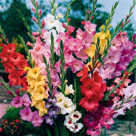 Gladiolen In Der Vase by Gladiolen Beet Und Schnittmischung 7 Sorten