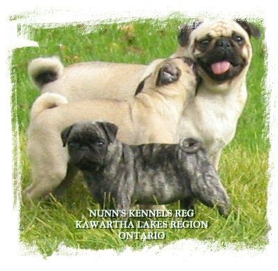 pugs for sale in ontario canada pugs fawn brindle fawn for sale adoption from ontario peterborough adpost