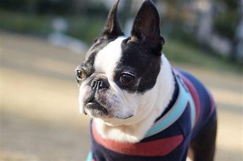 boston terrier puppies massachusetts 8 facts about boston terriers