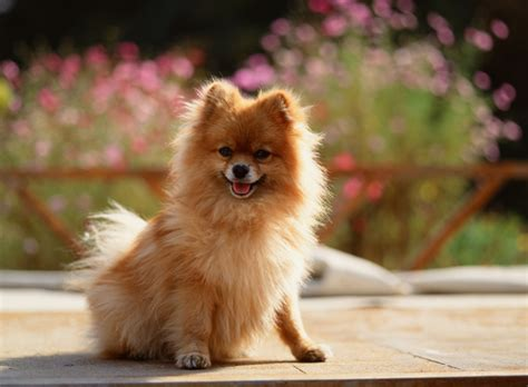 pomeranian rottweiler what is your favorite type of mine is a labrador retriever d dogs answers
