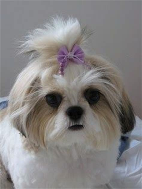shih tzu maltese expectancy 17 best images about shih tuz s on puppys hypoallergenic breed and pets
