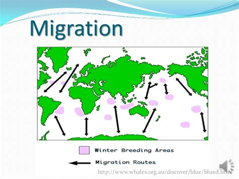 migration pattern of blue whale where do blue whales live map