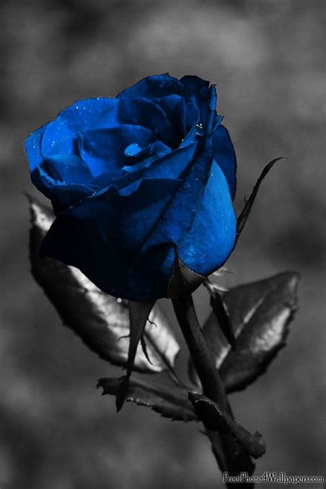 meaning of different color roses black meaning meaning of different colors of roses