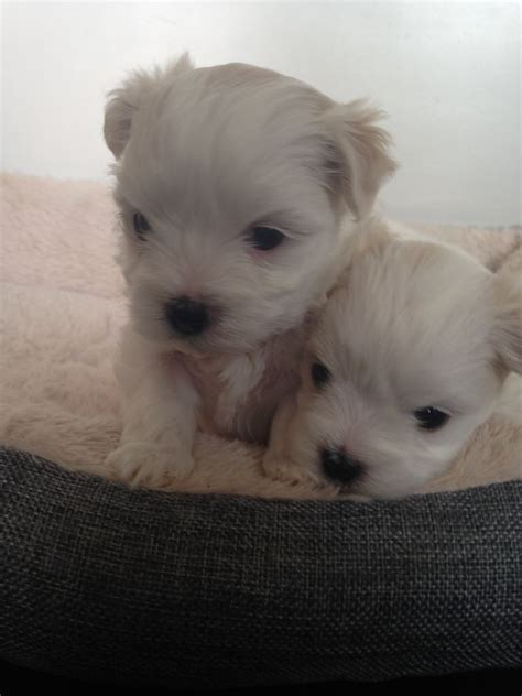 maltese shih tzu for sale uk beautiful maltese shih tzu cross puppies for sale shrewsbury shropshire pets4homes