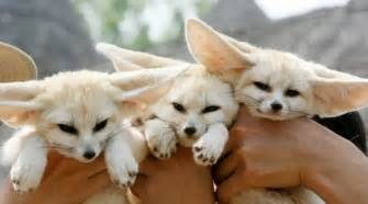 Baby fennec foxes tumblr