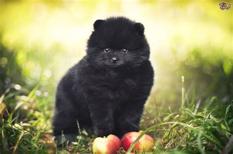black pomeranian puppies pomeranian breed information buying advice photos