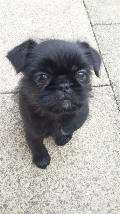 shih pug pug shih tzu witham essex pets4homes