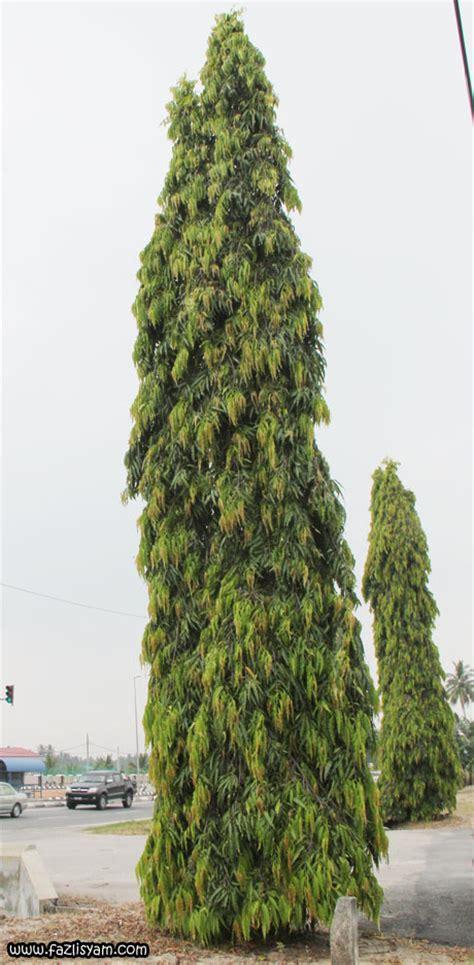 Tanaman Asoka India pokok asoka segalanya tentang tumbuhan