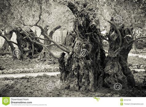 ancient olive trees   garden  gethsemane royalty