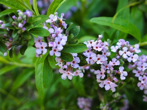 flowering shrubs for zone 6 176 best images about flowering shrubs on