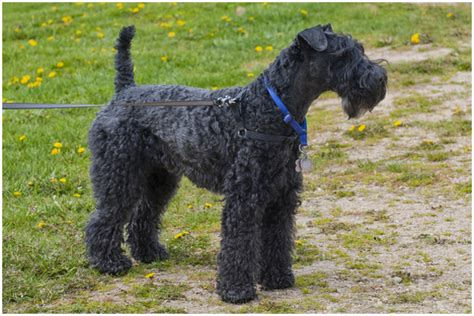 kerry blue terrier puppies kerry blue terrier puppies breeds picture