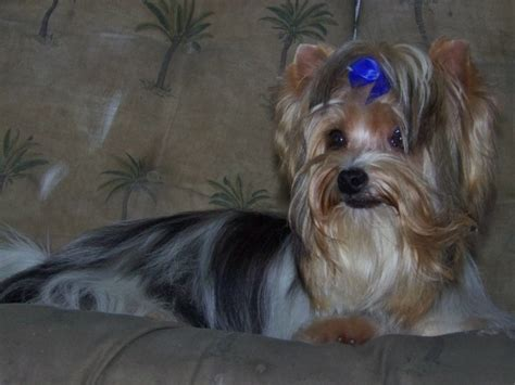 contented puppies contented puppies paradise yorkie maltese morkie puppies for sale