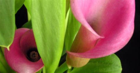 how deep do you plant calla lily bulbs ehow uk