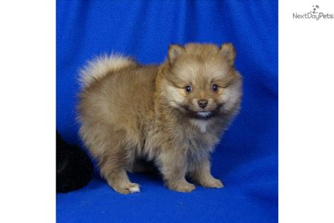 pomeranian puppies springfield mo teddy puppies in missouri breeds picture