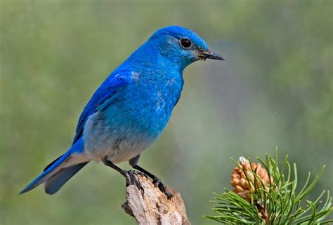 viewpoint mountain bluebird