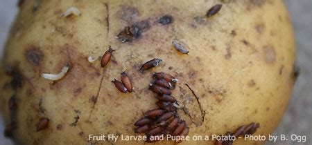 Fruit Fly Maggot Image
