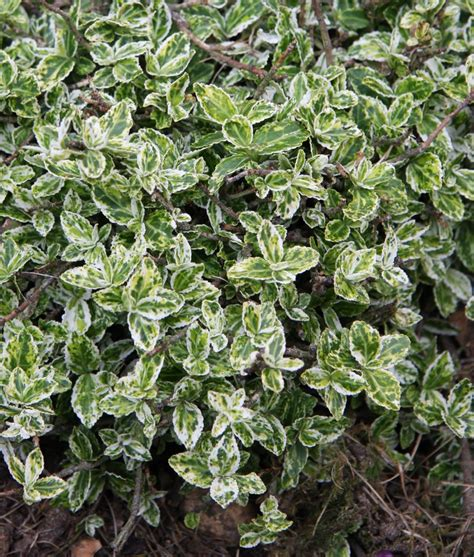 variegated foliage plants euonymus fortunei harlequin variegated and coloured
