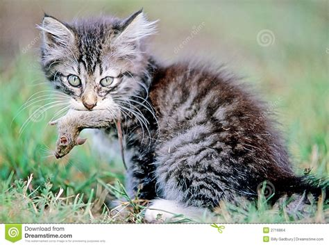 cat and cat and mouse stock images image 2716864
