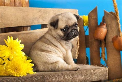 pugs names pug names for the one of a or