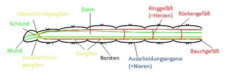 Beschriftung Regenwurm by Biologie 8 Klasse Schulstoff Org