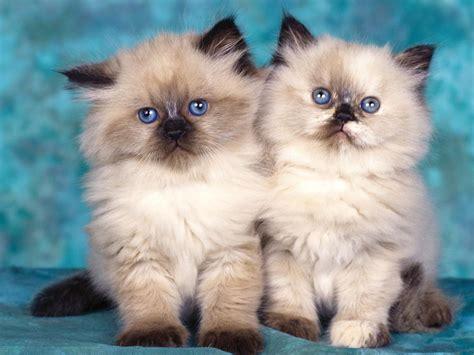 wallpaper bintang kucing pangkahbulat blog si kucing comel