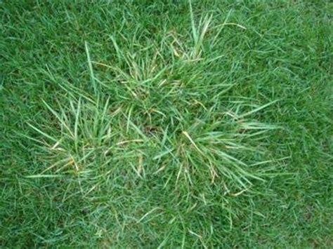 what is couch grass lawn turf problems couch grass lawn turf care guide