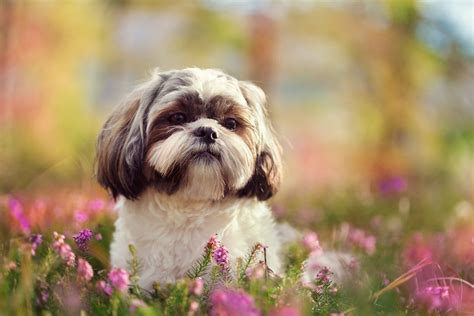 shih tzu nature these are the smallest breeds in the world