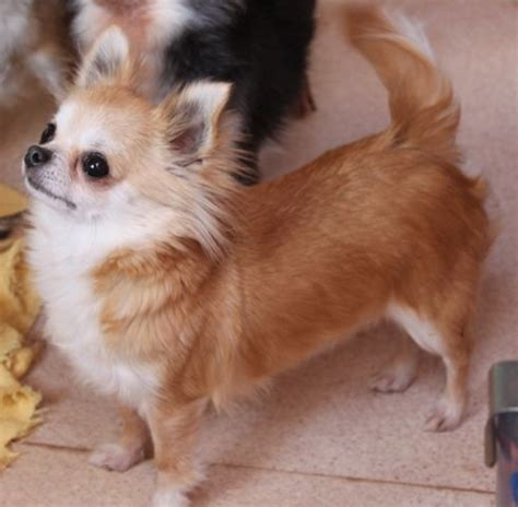 chihuahua puppies oregon blue teacup chihuahua puppies for sale in oregon for sale 80000 breeds picture