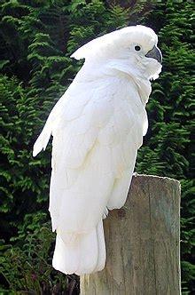cockatoo simple english wikipedia   encyclopedia