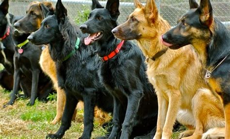 how are sniffer dogs trained sniffer dogs detect cancer 90 accurate